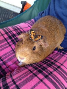 This friendly little guinea pig who has her very own butterfly.