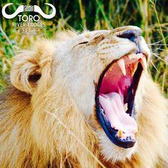 Yes, it's Monday...@tororiverlodges #happymonday #monday #lion #yawn #lions #bigfive #cats #big5 #bigcats #cat #africa #nature #safari #wildlife #southafrica #wild #animals #safarilife #lodge #africanature #photography #canon #travel #best #wildafrica River Lodge, African Safari, Wild Animals, Big Cats, Lions, Canon, Wildlife, Walking, Nature