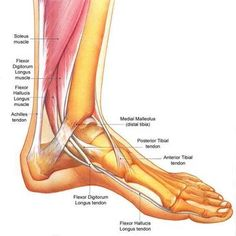 Anatomy: Foot/Ankle: