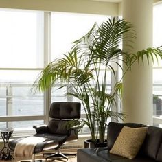 the best indoor palms are kentia palm howea forsteriana sentry palm howea belmoreana lady palm rhapis excelsa and parlor palm chamaedorea elegans