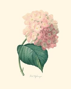 Vintage Rosa Hortensia melocotón flor imprimir P215 por OrangeTail, $14.00