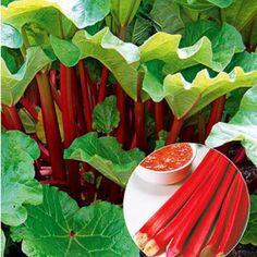 "Immertragender Rhabarber ""Livingstone"",1 Pflanze Livingstone, Bastilla, Garden Paths, Watermelon, Plant Leaves, Vegetables, Plants, Food, Gardening"