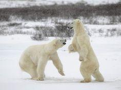 Международный день полярного медведя | Эксклюзив