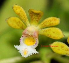 Gastrochilus obliquus (Lindl.) Kunze 1891