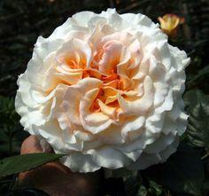 #Comtessa. Order them online @ www.parfumflowercompany.com or go visit your florist.