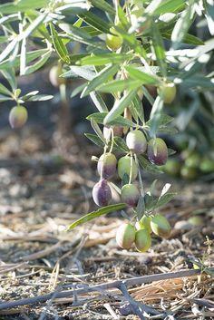 Olives, Olive Harvest, Olive Gardens, Olive Tree, Leaf Design, Garden Art, Mother Nature, Olive Oil, Herbs