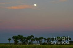 The moon hangs in the sky over Lake Jessup near Orlando in Central Florida with the foreground filled with the annual bloom of wild southern sunflowers and natural palm trees.  The flowers which bloom every year in October are one of the most beautiful natural occurrences in the state.