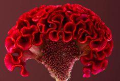 Cockscomb [Celosia] - Flickr - Photo Sharing!
