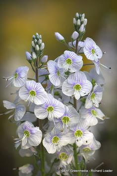 Gentian Speedwell 'Tissington White' (Veronica gentianoides) -- Love these flowers and their colours Amazing Flowers, White Flowers, Beautiful Flowers, Beautiful Gorgeous, Raindrops And Roses, White Gardens, Dream Garden, Beautiful Gardens, Garden Plants