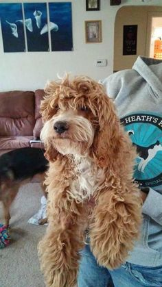 Bodey-Adopt or Sponsor is an adoptable Cockapoo Dog in Post Falls, ID Bodey is the sweetest boy you will ever meet! He is friendly with cats, dogs, people, children. ... ...Read more about me on @petfinder.com