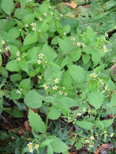 Knopkruid harig of glad Garden Weeds, Herb Garden, Home And Garden, Container Gardening, Gardening Tips, Edible Plants, Wild Nature, Organic Farming, Ecology