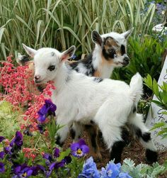 """BABY GOATS!"""""""