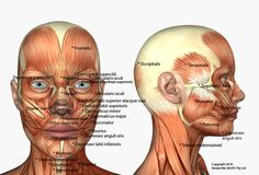 facial_muscles_optimized