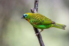 Foto saíra-lagarta (Tangara desmaresti) por Celso B Almeida | Wiki Aves - A Enciclopédia das Aves do Brasil