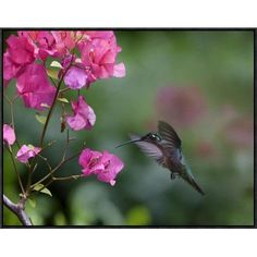 Global Gallery Magnificent Hummingbird Female Feeding at Flower, Costa Rica by Tim Fitzharris Framed Photographic Print on Canvas Size: