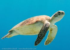 Green sea turtle in Bonaire Via www.reeftraveler.com