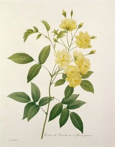 Pierre Joseph Redoute -- Rosa banksiae. http://www.bridgemanartondemand.com/image/843587/pierre-joseph-redoute-rosa-banksiae-from-choix-des-plus-belles-fleurs-1827