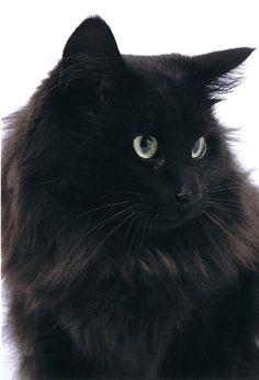 black norwegian forest cat - looks like my previous foster cat Kingston! Fluffy Black Cat, Fluffy Cat, All Black Cat, Cute Black Cats, Pretty Cats, Beautiful Cats, Pretty Kitty, Kittens Cutest, Cats And Kittens