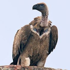 Gyps coprotheres (Cape vulture). Kruger NP, SA, oct 6, 2016. Early morning safari ride, waterhole rd & loop. Photo, biodiversityexplorer.org/