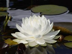 Anglo water plants – exceptional quality & range of aquatic plants - Modern White Lotus Flower, White Flowers, Beautiful Flowers, Water Plants, Water Garden, Garden Plants, Live Aquarium Plants, Planted Aquarium, Natural Swimming Ponds