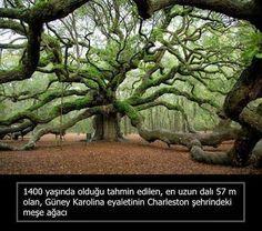 Dünyanın en yaşlı ağaç ı