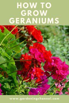 to grow geranium flowers. to grow geranium flowers. to grow geranium flowers. to grow geranium grow geranium flowers.to grow geranium flowers. to grow geranium grow geranium flowers. Growing Geraniums, Geraniums Garden, Growing Flowers, Planting Flowers, How To Grow Geraniums, Overwintering Geraniums, Planting Bulbs, Red Geraniums, Flower Gardening