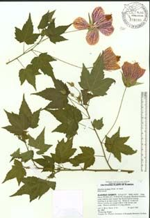 I am thinking about a series of quilted panels that look like Herbarium Mounts (plant specimen, pressed; dried; labeled/identified and mounted on heavy paper stock).  My OCD is fighting to keep them in the same scale as standard mounts.  But I am thinking I want them to all be autumn foliage of trees.