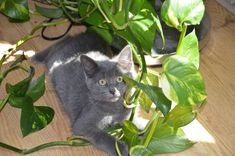 Voici comment fabriquer une petite potion maison afin de repousser votre chat de vos meubles favoris... C'est 100% naturel et sans danger pour les animaux. Cleaners Homemade, Good To Know, Home Remedies, Stuff To Do, Danger, Dogs, Afin, Voici, Animals