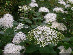 Spiraea corymbosa Floraison mai 0.80-1 m