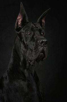 The most beautiful Great Dane (Dog angielski) I had ever seen :)) Great Dane Dogs, I Love Dogs, Cute Dogs, Beautiful Dogs, Animals Beautiful, Black Great Danes, Dane Puppies, Black Animals, Mundo Animal