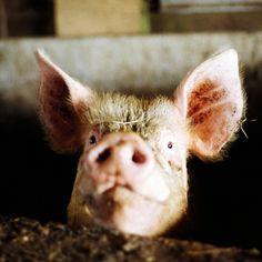 Viehhaltung kann Ansteckungsgefahr mit MRSA erhöhen - Leben Sie in der Nähe landwirtschaftlicher Viehbestände? Falls ja, könnte damit das Risiko steigen, dass Sie sich mit MRSA anstecken. Keimen also, die gegen nahezu alle Antibiotika unempfindlich sind... Mehr erfahren unter: https://wissenschaftundschreie.wordpress.com/2012/11/11/viehhaltung-kann-ansteckungsgefahr-mit-mrsa-erhoehen/
