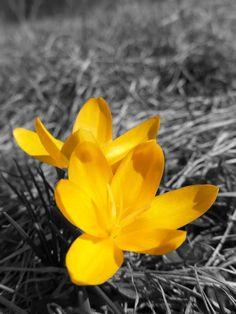 Yellow crocus  (Sternbergia lutea)