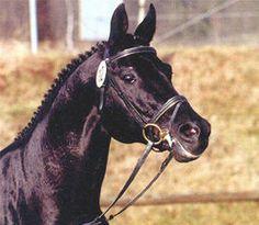 Sapros - 1980 Trakehner stallion