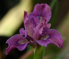 Pacific Coast iris (3 plug plants) mixed colours - Butterfly attracting Hardy Damp / Bog / Marginal pond / aquatic plant Cut flower by RootGarden on Etsy