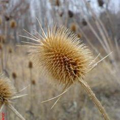 ciulin uscat Cool Plants, Dandelion, Flora, Health, Travel, Natural Remedies, Plant, Salud, Trips