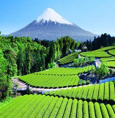 Tea Garden, Mt