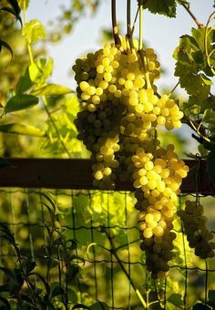 ITALIAN WHITE WINES WORTH TASTING  7 different varieties to try for spring