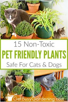 When you have cats or dogs, you want to be sure that you're growing pet friendly houseplants. The thought of having toxic or poisonous plants in the house without even realizing it is very scary. Avoid the risk, and grow these pet safe houseplants instead. From spider plants, to African violets, Boston ferns, bamboo, bromeliads and haworthia, you'll be happy to learn that there are lots of common indoor plants that are non-toxic, and safe for your pets. #houseplant #indoorplants #gardening