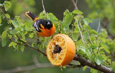 Make an Orange Feeder for Orioles