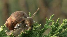 A Euorpean Brown Garden Snail slightly back lit in early morning light. Ventura, California, USA.