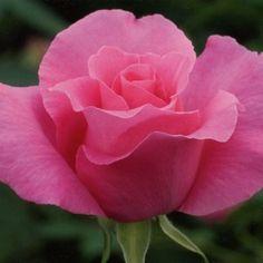 The McCartney rose. Hibrida de te Meilland 1988.