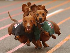 dachshunds | ... » Blog Archive » Three Mini Dachshunds Racing Wallpaper 1152×864