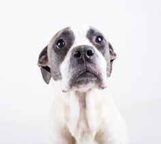 Meet Sophia, an adoptable Pit Bull Terrier looking for a forever home. If you're looking for a new pet to adopt or want information on how to get involved with adoptable pets, Petfinder.com is a great resource.