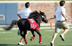 "Southern Methodist University Mustangs. Peruna Mustang. The name ""Peruna"" is given to each successive live mascot. A black shetland pony, Peruna has been present at every SMU home football game for over 70 years. ""Peruna"" also refers to the costumed mascot and SMU's fight song."