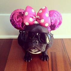 mini mouse french bulldog.  hilare.
