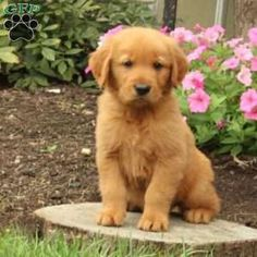 Golden Retriever puppies for sale! The Golden Retriever is one of the most popular family dogs in the world & has been an AKC-recognized breed since Red Golden Retriever Puppy, Golden Retrievers For Sale, Retriever Puppies, Greenfield Puppies, Cute Baby Dogs, Family Dogs, Puppies For Sale, Dog Cat, Cute Animals
