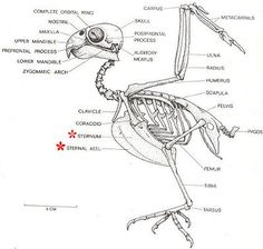 Muscular diagram of a pigeon to help identify avian