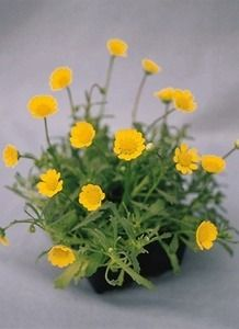 Pase Seeds - Tanacetum Matricaria Types Parthenium Gold Ball Perennial Seeds, $3.49 (http://www.paseseeds.com/tanacetum-matricaria-types-parthenium-gold-ball-perennial-seeds/)