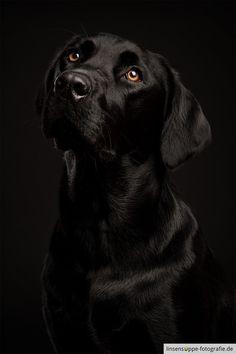 Black Labrador on Black Background
