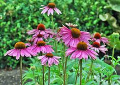 A native to the eastern U.S., purple coneflowers are found in many flower gardens. Planting purple coneflower in the garden or flowerbed draws bees and butterflies. Read here for growing info and care.